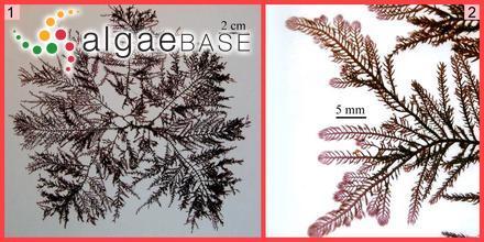 Ecklonia fastigiata (Endlicher & Diesing) Papenfuss