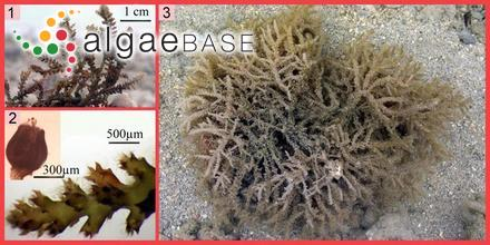 Cystoseira robusta J.Agardh