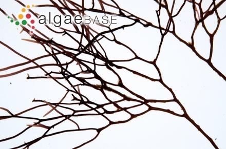 Picconiella pectinata (J.D.Hooker & Harvey) G.De Toni