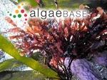 Phyllophora crispa (Hudson) P.S.Dixon