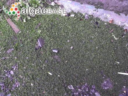 Sphacelaria implicata Sauvageau