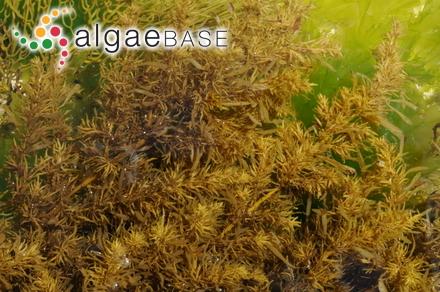 Vinassaella coriifolia (Harvey) J.De Toni