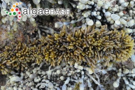 Mesotrema elegans (Hering) Papenfuss