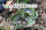 Dictyosphaeria sericea Harvey