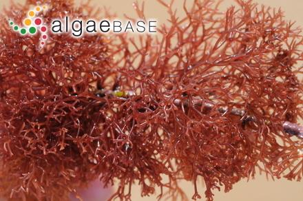 Bostrychia tenuis f. simpliciuscula (Harvey ex J.Agardh) Post