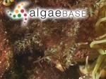 Osmundea truncata (Kützing) K.W.Nam & Maggs