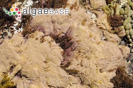 Baillouviana crassipes (Harvey) Kuntze