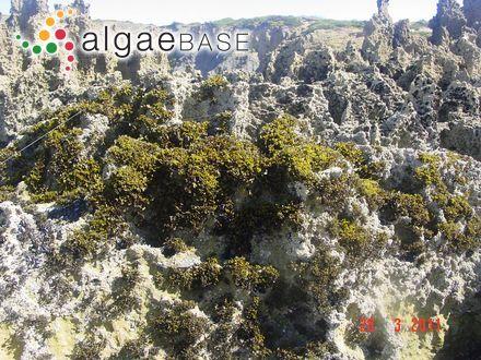 Polysiphonia urceolata f. formosa (Suhr) J.Agardh
