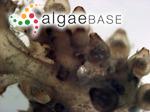 Chondria muscoides C.Agardh