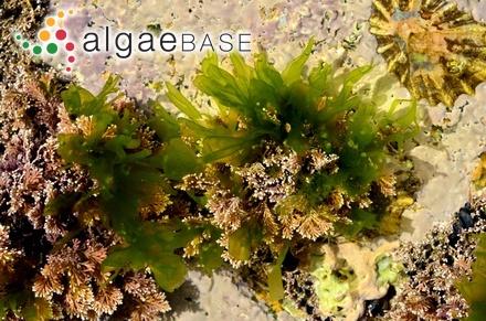 Sargassum lendigerum var. mombassaense Grunow