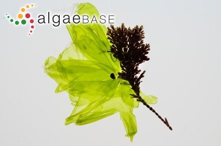 Sargassum subalatum Sonder