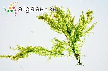 Sargassum marginatum (C.Agardh) J.Agardh