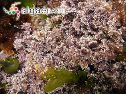 Carpacanthus ilicifolius var. marginatus (C.Agardh) Kützing