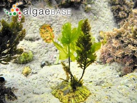 Sargassum cinctum var. diotis Grunow
