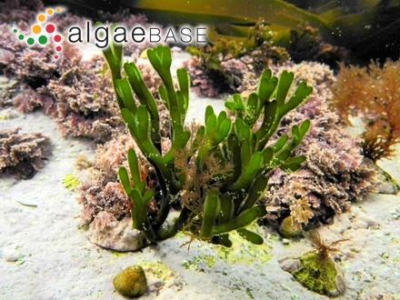 Sargassum microcystum Kützing