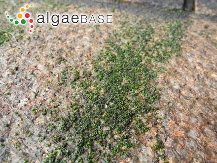 Ozothallia vulgaris Decaisne & Thuret