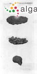 Ulva furfuracea Mertens ex Hornemann