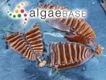 Saccharina groenlandica (Rosenvinge) C.E.Lane, C.Mayes, Druehl & G.W.Saunders