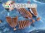 Laminaria groenlandica Rosenvinge