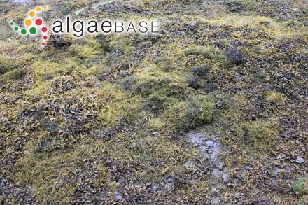 Sargassum novae-hollandiae var. subdistichum (Grunow) P.C.Silva
