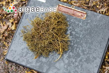 Sargassum stenophyllum var. subdistichum Grunow