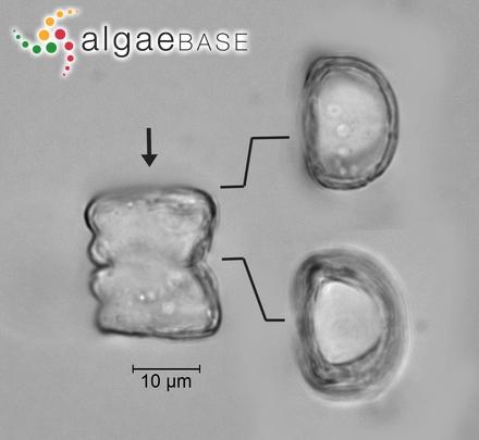 Phyllophora spissa Suhr