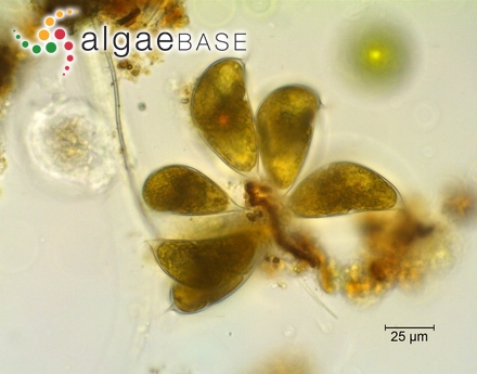 Echinocaulon spinellum Kützing