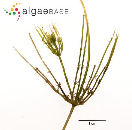 Phormidium schultzii (Lemmermann) Anagnostidis & Komárek