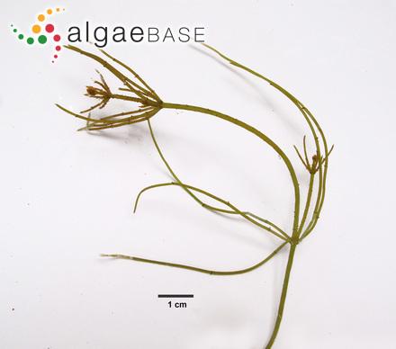 Phormidium cliarense (West) Anagnostidis & Komárek