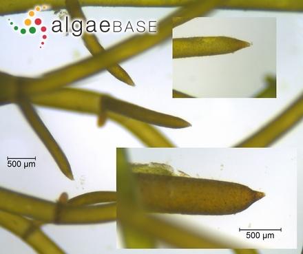 Corallopsis dichotoma Ruprecht