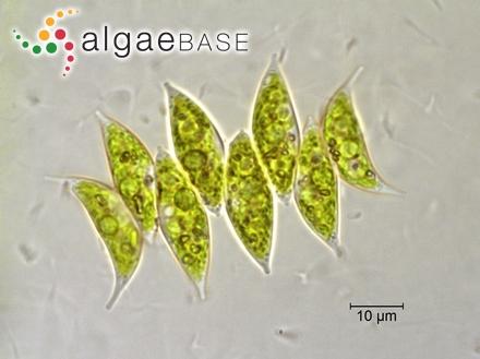 Gracilaria cacalia (J.Agardh) E.Y.Dawson