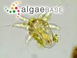 Colacium vesiculosum Ehrenberg
