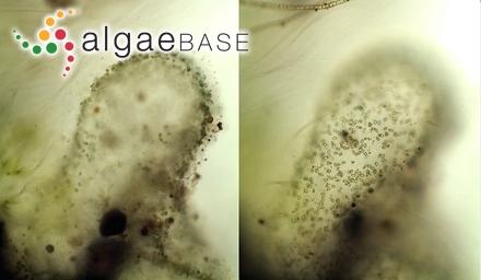 Polysiphonia variegata (C.Agardh) J.Agardh