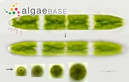 Lithophyllum incrassatum (Foslie) Foslie