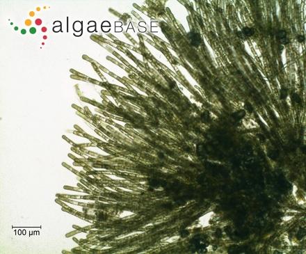Lithothamnion speciosum (Foslie) Foslie