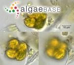 Enallax coelastroides (Bohlin) Skuja