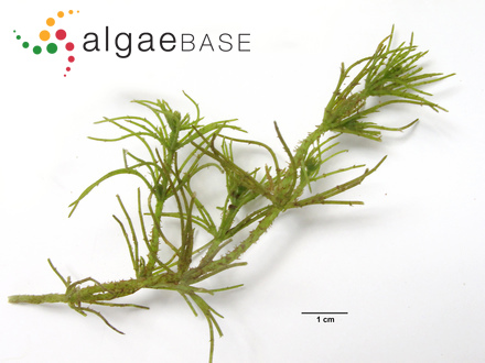 Polythrix corymbosa Grunow ex Bornet & Flahault