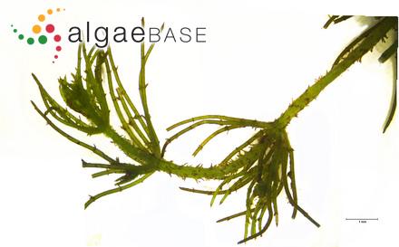 Gardnerula spongiosa (Zanardini) C.K.Tseng & M.Hua