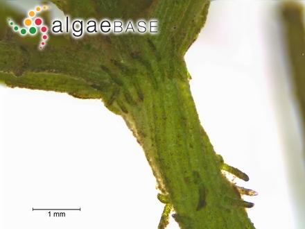 Scytonema crassum var. indicum S.Silva