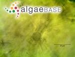 Spirogyra crassa (Kützing) Kützing