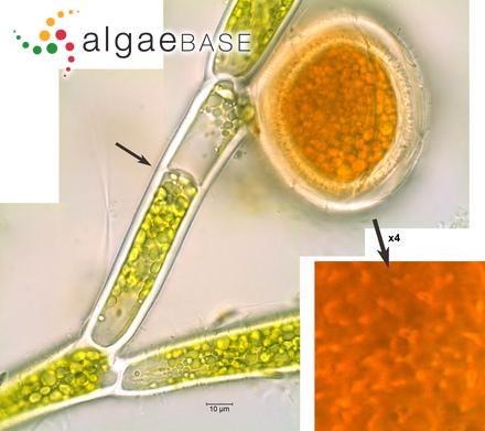 Tryblionella maxima Grunow