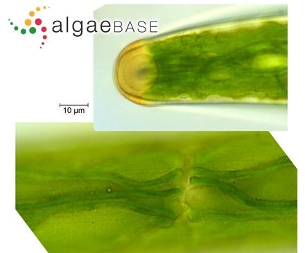 Gomphonema intricatum var. vibrio (Ehrenberg) Cleve