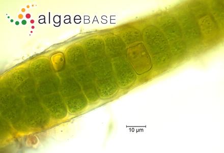 Eunotia paludosa var. trinacria (Krasske) Nörpel & Alles