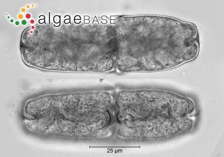 Sargassum megalocystum C.K.Tseng & B.Lu