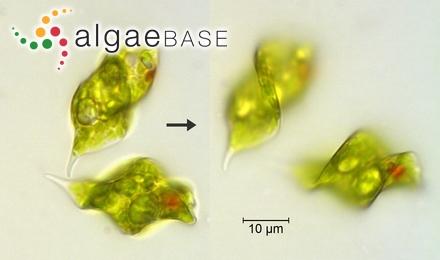 Sargassum dazhouense Tseng & Lu