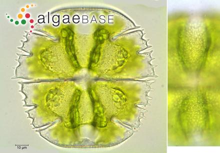 Eunotia ballinaensis Foged
