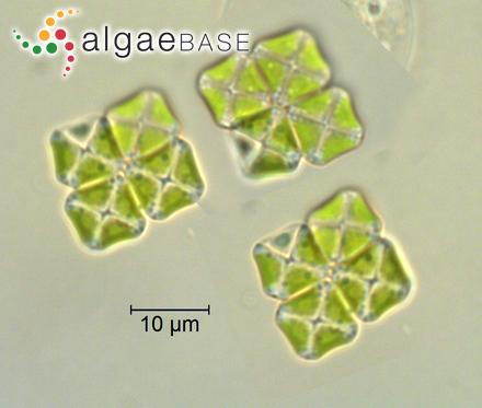 Eunotia bilunaris var. mucophila Lange-Bertalot, Nörpel-Schempp & E.Alles