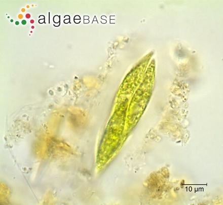 Eunotia didyma f. elongata (Grunow) Hustedt
