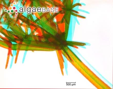 Cladophoropsis palauensis Trono