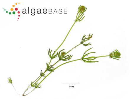 Iridophycus cornucopiae (Postels & Ruprecht) Setchell & N.L.Gardner